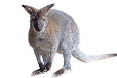 Gray kangaroo isolated on a white Stock Images