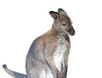 Gray kangaroo isolated on a white Stock Photos