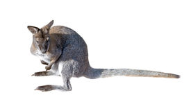 Gray kangaroo isolated on a white Royalty Free Stock Image