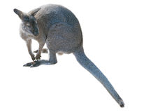 Gray kangaroo isolated on a white Royalty Free Stock Photo