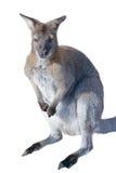 Gray kangaroo isolated on a white Royalty Free Stock Photos