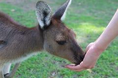 Gray Kangaroo occidental mangeant de la main photos stock