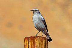 Gray Karoo Chat op Post stock afbeelding