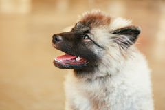 Gray Keeshound, Keeshond, Keeshonden dog (German Spitz) Royalty Free Stock Photos