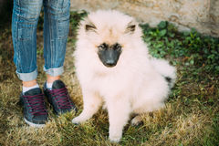 Gray Keeshound, Keeshond, Keeshonden Dog Or German Spitz, Wolfsp. Itz Sitting On Grass Is At Feet Of Mistress stock images