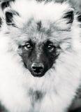 Gray Keeshound, Keeshond, Keeshonden Dog (German Spitz) Wolfspitz Black And White Portrait. Gray Keeshound, Keeshond, Keeshonden Dog (German Spitz) Wolfspitz stock photography
