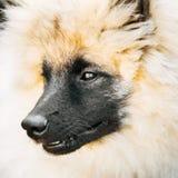 Gray Keeshound, Keeshond, Keeshonden Dog (German Spitz) Wolfspitz. Close Up Portrait royalty free stock images