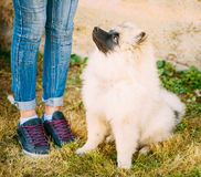 Gray Keeshound, Keeshond, Keeshonden Dog (German Spitz) Wolfspit Royalty Free Stock Image