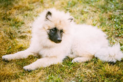 Gray Keeshound, Keeshond, Keeshonden Dog (German Spitz) Wolfspitz. Close Up Portrait stock photo