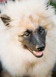 Gray Keeshound, Keeshond, Keeshonden Dog (German Spitz) Wolfspitz. Close Up Portrait royalty free stock photography