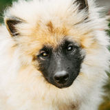 Gray Keeshound, Keeshond, Keeshonden Dog (German Spitz) Wolfspitz. Close Up Portrait royalty free stock image