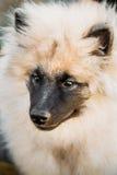 Gray Keeshound, Keeshond, Keeshonden Dog German. Spitz Wolfspitz Close Up Portrait royalty free stock image