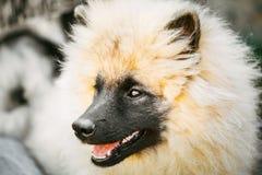 Gray Keeshound, Keeshond, Keeshonden Dog German. Spitz Wolfspitz Close Up Portrait royalty free stock photos