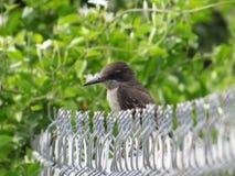 Gray King Bird auf einem Kettenglied fnce lizenzfreie stockbilder