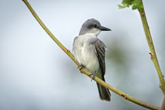 Gray Kingbird Stock Images