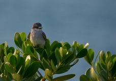 Gray Kingbird Royalty Free Stock Images