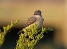 Gray Kingbird Royalty Free Stock Photography