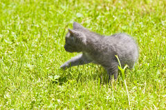 Gray kitten Royalty Free Stock Photos