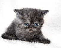 Gray kitten Stock Photo