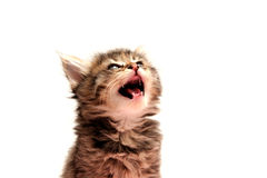 Gray Kitten Royalty Free Stock Images