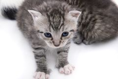 Gray Kitten Royalty Free Stock Photo