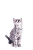 Gray kitten Royalty Free Stock Photo