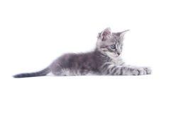Gray kitten Royalty Free Stock Photos