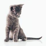 Gray Kitten Fotografie Stock