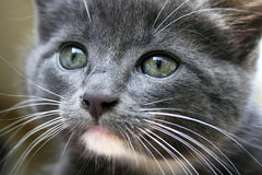 Gray kitten. Baby background cat clean Stock Images
