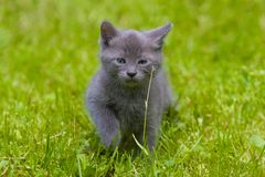 Gray kitten Stock Images
