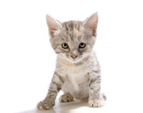 Gray kitten Stock Photos