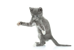 Gray kitten Stock Image