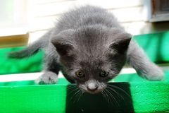 Gray kitten is afraid to get down from the table. Royalty Free Stock Photography