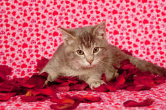 Gray Kitten And Rose Petals Stock Photo