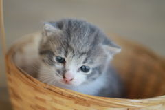Gray Kitten In Basket Immagini Stock