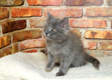 Gray kitten in bed in front of brick wall royalty free stock images