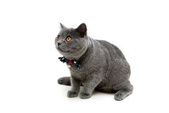 Gray kitten with a bow on a white background. Royalty Free Stock Photo