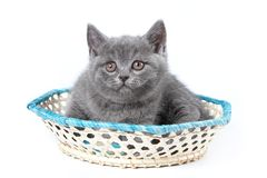 Gray kitten of a British cat sitting Stock Photography