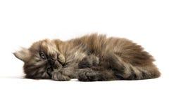 Gray kitten Royalty Free Stock Photography