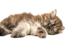 Gray kitten Royalty Free Stock Images
