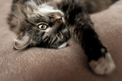 Gray kitten cat with stripped fur chest Stock Photography
