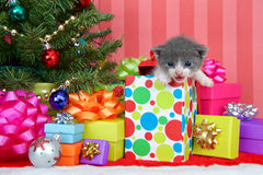 Gray kitten in christmas present. Adorable gray and white tabby kitten three weeks old climbing out of a festive Christmas present with piles of colorful boxes stock photography