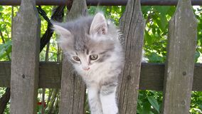 Gray kitten is climbing on the fence. Little kitten is playing on fence. Stock Photo