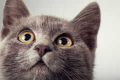 Gray kitten close up smoky cat on a black background. Focus on e Royalty Free Stock Images