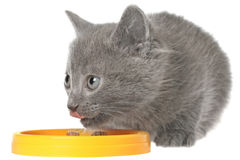 Gray kitten eating cat food from a yellow bowl.