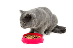 Gray kitten eating food from a bowl on a white background Royalty Free Stock Photo