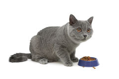 Gray kitten eats cat food. white background. Stock Photo
