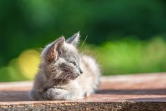 Gray kitten in the grass on blurred green background at the morn. Gray kitten in the grass on blurred green background royalty free stock image