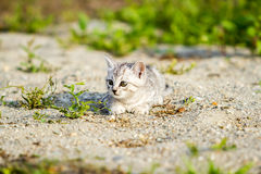 Gray kitten on a gray sand in the grass Royalty Free Stock Image