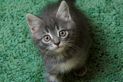 Gray kitten on a green background Stock Images